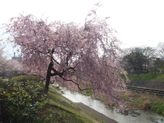 2008_0408しだれ桜0002