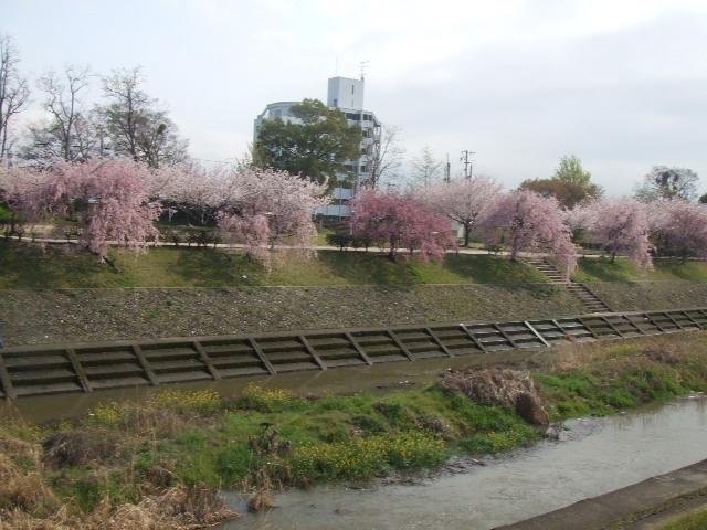 2008_0408しだれ桜0006