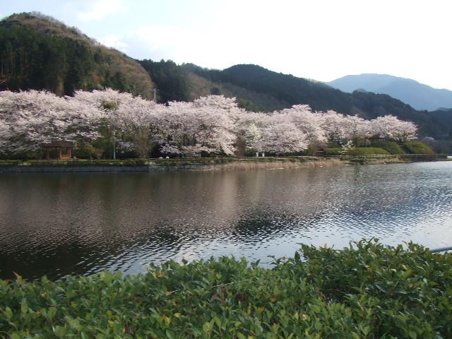 2008_0408しだれ桜0016
