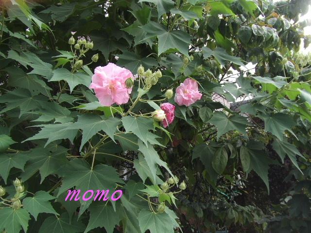 2008_0913酔芙蓉0008