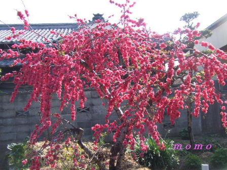 2009_0402桜0020