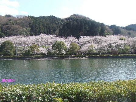 2009_0402桜0009