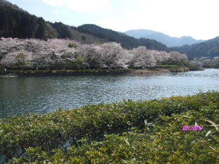 2009_0402桜0011