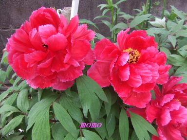 2009_0416牡丹0016
