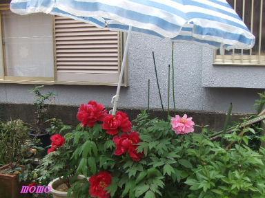 2009_0416牡丹0026