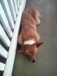 昼寝するコギ
