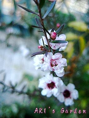 Leptspermum scoparium2