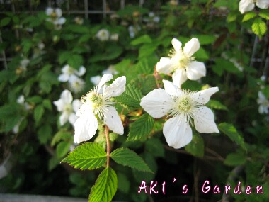 ラズベリー花H20 4