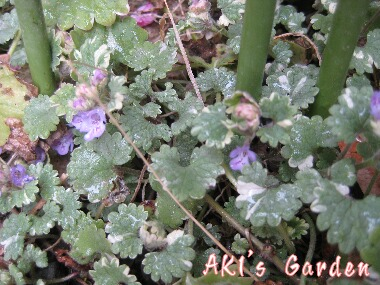 Glechoma hederacea cv.Variegata H20 4