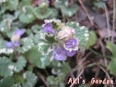 Glechoma hederacea cv.Variegata 2H20 4
