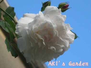 Rosa chinensis albaH20 5.3