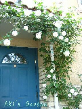 Rosa chinensis albaH20 5.8