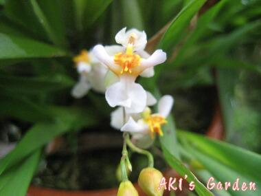 オンシ花H20 6