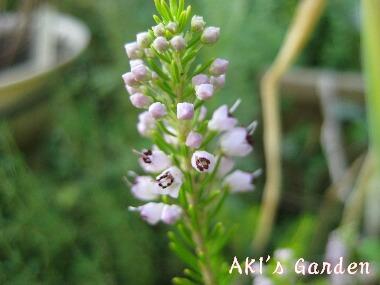 エリカ バレリーグリフィス花H20 6