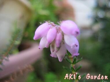 エリカ ピンクアイズH20 6