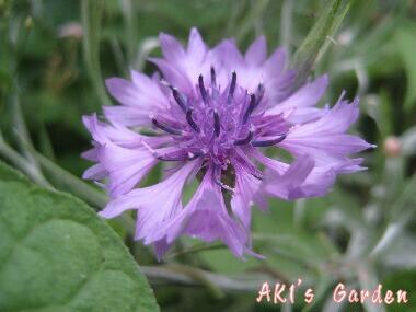 矢車草紫H20 6