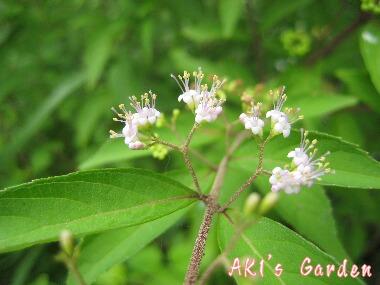 紫式部花H20 7