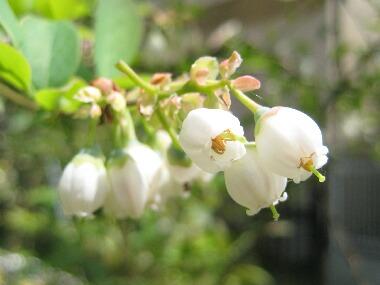 ブルーベリー花H21 4.19