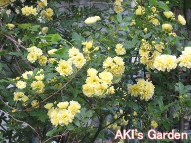 モッコウバラ黄H21 4.22