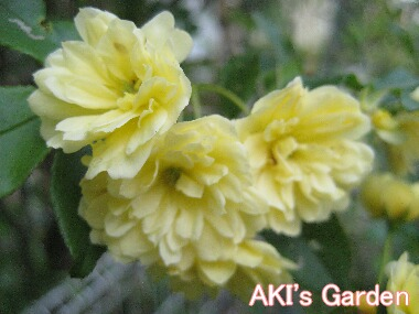 モッコウバラ黄色H21 4.22