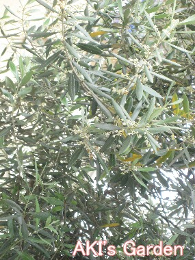 オリーブ花H21 5.30