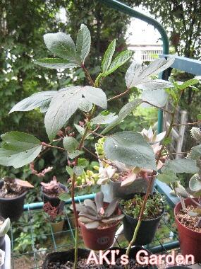 Hibiscus sabdariffa H21 8.6