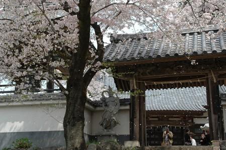桜吹雪とカメラマン