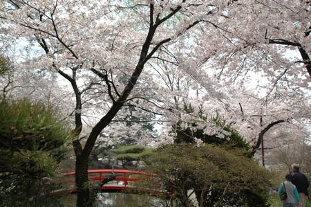熟年カップルと桜