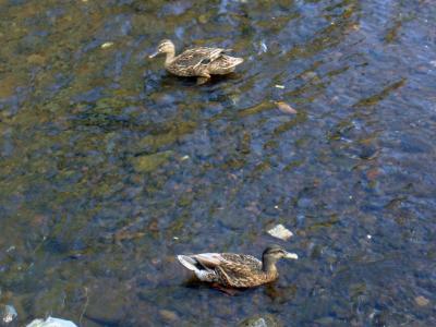 duck_convert_20090709084842.jpg
