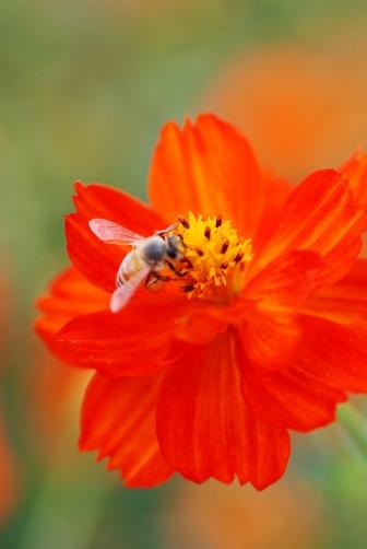 オレンジと蜂