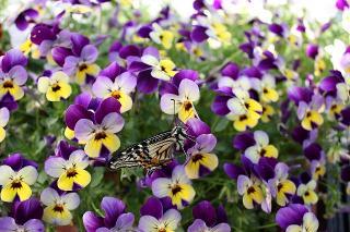 あげは蝶2