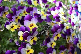 あげは蝶3