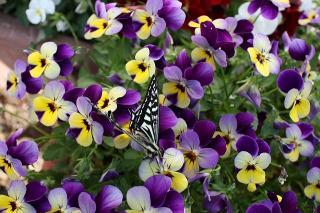 あげは蝶5
