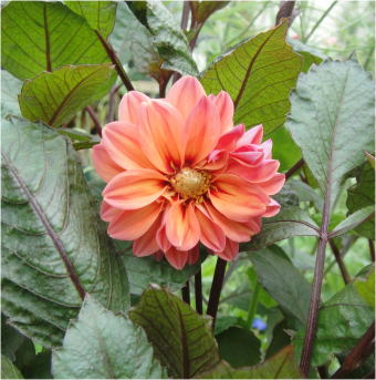 dahlia variabilis redskin