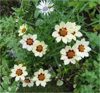 Coreopsis auriculata Snowberry