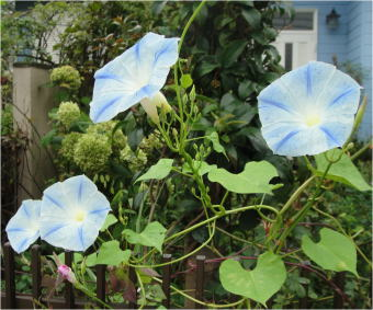 Ipomoea tricolor 'Flying Saucer'