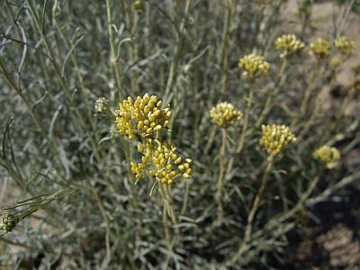 Helichrysum1.jpg