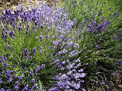 lavender1-1.jpg