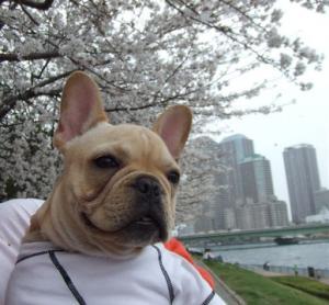 はじめての桜