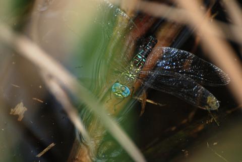 マダラヤンマ♀(青色型)産卵