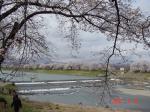 白石川とサクラ並木