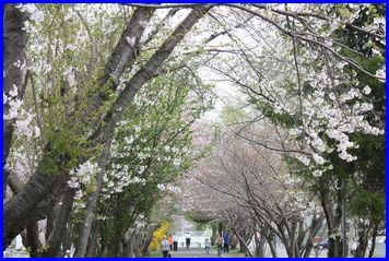 Sakura-2009-5-5-1.jpg