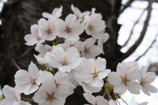 Sakura-2009-5-5-2.jpg