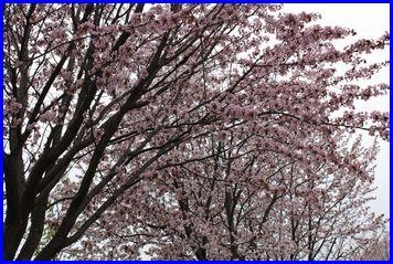 Sakura2-2009-5-5-1.jpg