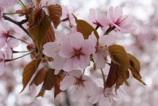 Sakura2-2009-5-5-2.jpg