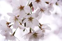 sak_090桜