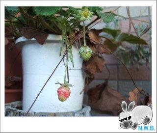 イチゴの鉢