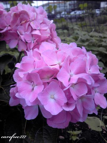 SH906-紫陽花