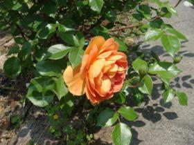 210529薔薇 オレンジ