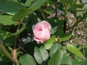 210529薔薇